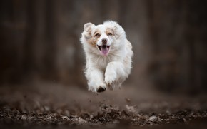 Картинка прыжок, собака, бег, полёт, боке, Австралийская овчарка, Аусси