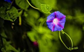 Картинка цветок, листья, капли, сиреневый, боке, лиана, вьюнок