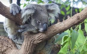 Картинка листья, дерево, медвежонок, коала