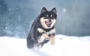 Картинка зима, снег, собака, Маламут