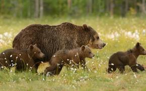 Картинка зелень, лес, лето, трава, взгляд, морда, природа, поза, поляна, медведь, медведи, профиль, медвежонок, прогулка, медвежата, …
