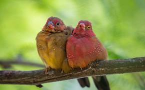 Картинка ветка, фон, парочка, птицы, Обыкновенный амарант