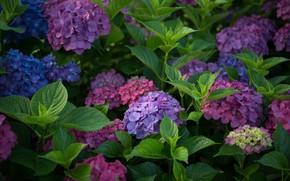 Картинка гортензия, соцветия, листья