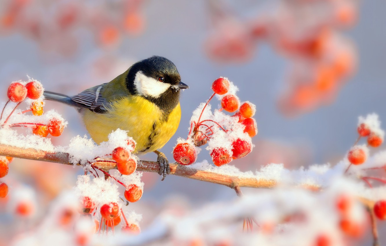 Фото обои зима, иней, снег, природа, ягоды, птица, ветка, мороз, синица, Vlad Vladilenoff