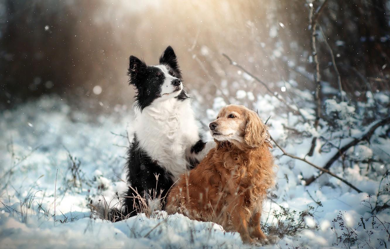 Фото обои зима, животные, собаки, снег, природа, пара, спаниель, бордер-колли