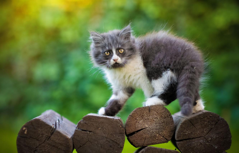 Фото обои взгляд, фон, пушистый, котёнок, брёвна, Юрий Коротун