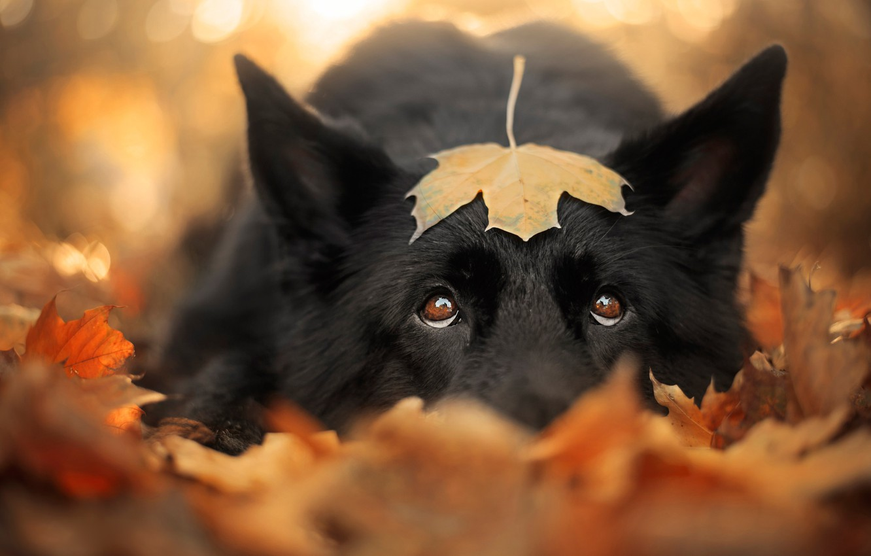 Фото обои грусть, осень, глаза, взгляд, морда, листья, крупный план, природа, лист, фон, настроение, листва, листок, портрет, …