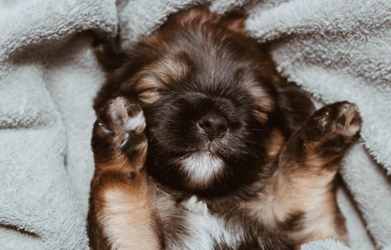 Фото обои морда, лапки, собака, покрывало, спит, щенок