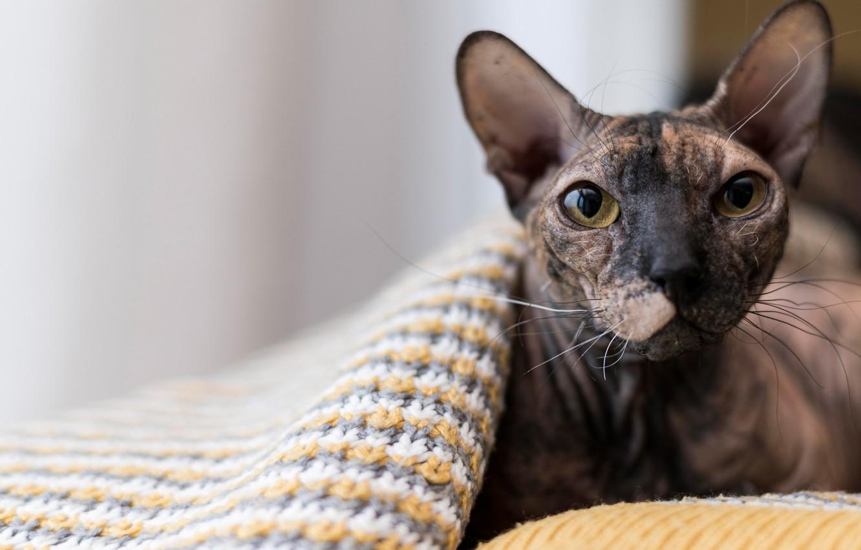 Фото обои кошка, кот, взгляд, мордочка, Сфинкс, плед, уши, котейка