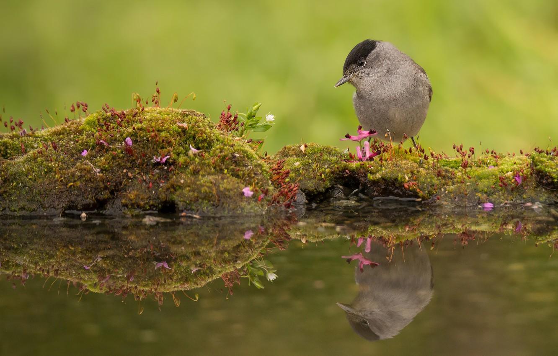 Фото обои вода, отражение, птица, мох, славка, Черноголовая славка