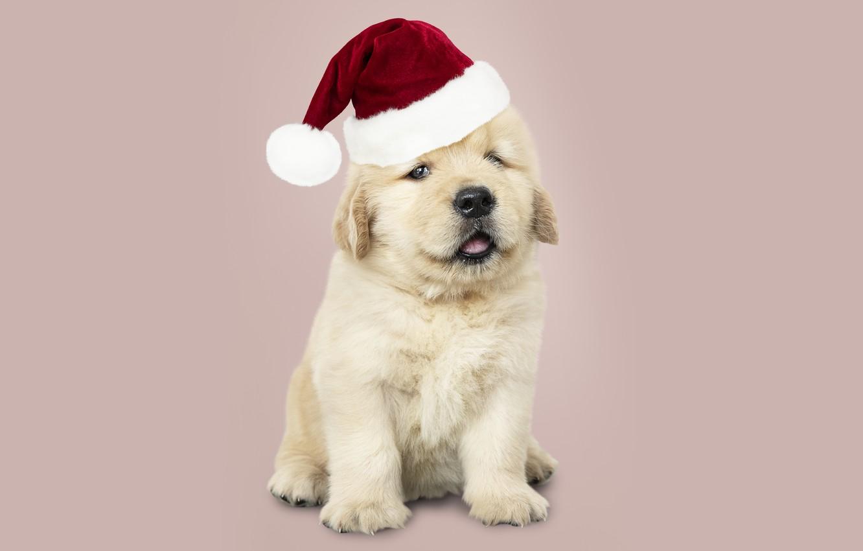 Фото обои собака, Новый Год, Рождество, щенок, санта, лабрадор, Christmas, puppy, dog, New Year, cute, Merry, santa …