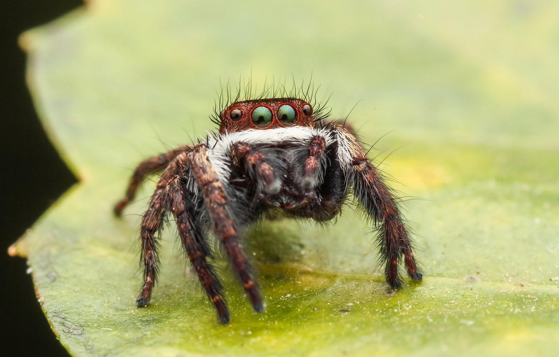 Обои насекомое, паук, лист. Макро foto 6