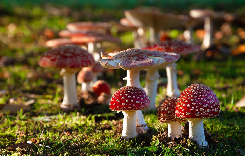 Фото обои грибы, боке, мухморы