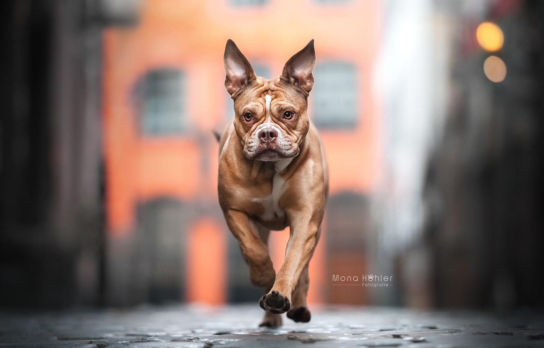Фото обои морда, улица, собака, прогулка, боке