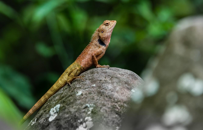 Фото обои природа, камень, ящерица, рептилия, земноводное