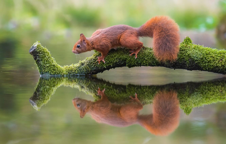 Фото обои поза, отражение, мох, ветка, белка, зверек, рыжая, бревно, сук, белочка, грызун, симметрия, зеркальное
