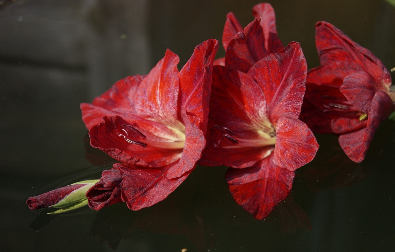 Фото обои цветы, красный, гладиолус, гладиолусы