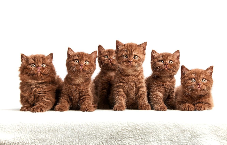 Фото обои взгляд, котята, белый фон, компания, коричневые, милашки, много, мордочки, сидят, шоколадные, британские