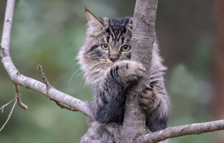 Фото обои кошка, кот, фон, дерево, на дереве, котейка