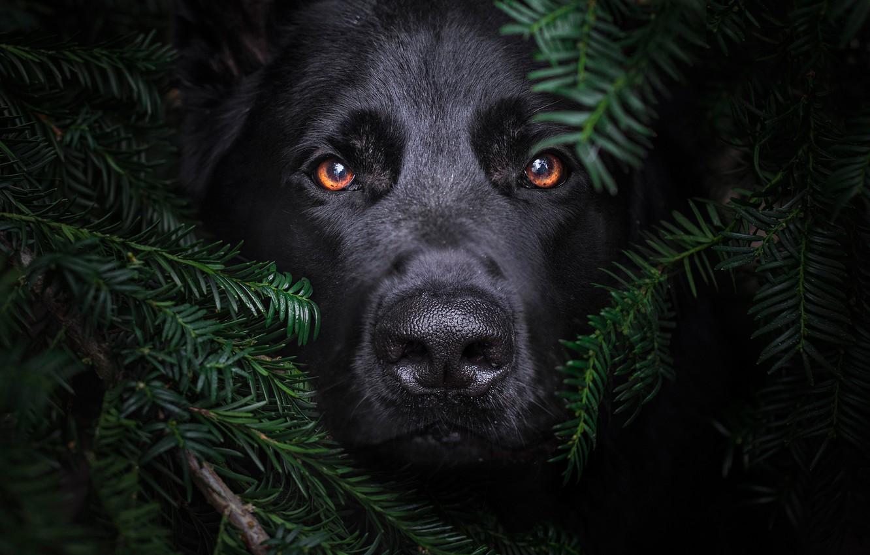 Фото обои взгляд, морда, ветки, собака