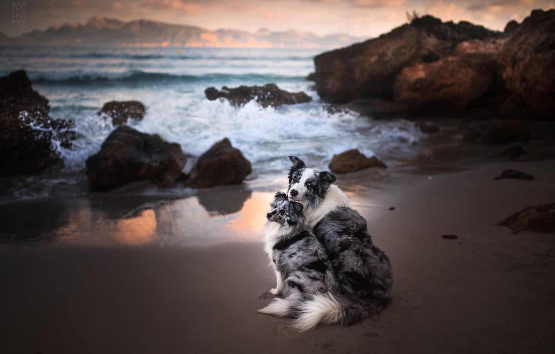 Фото обои море, собаки, океан, скалы, парочка, две собаки