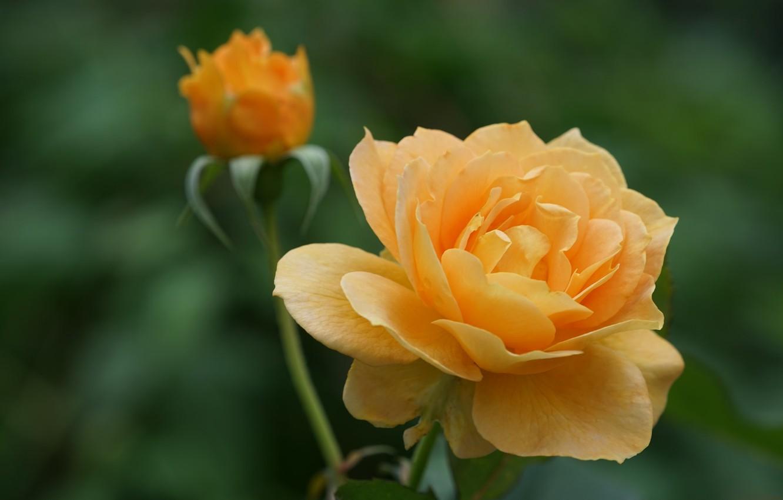 Фото обои фон, роза, лепестки, бутон, жёлтая