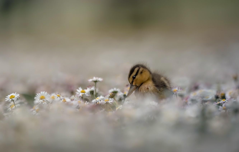 Фото обои цветы, природа, утка