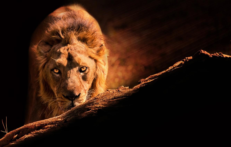 Фото обои взгляд, лев, царь зверей