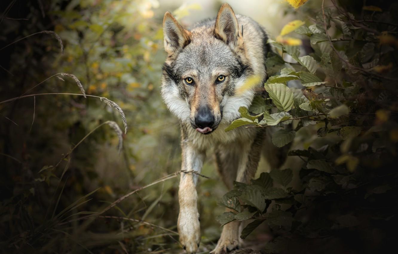 сорта очень необычные картинки волков фото это воздушный мягкий