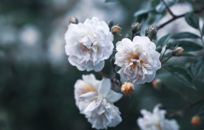 Фото обои цветы, природа, розы, ветка, бутоны