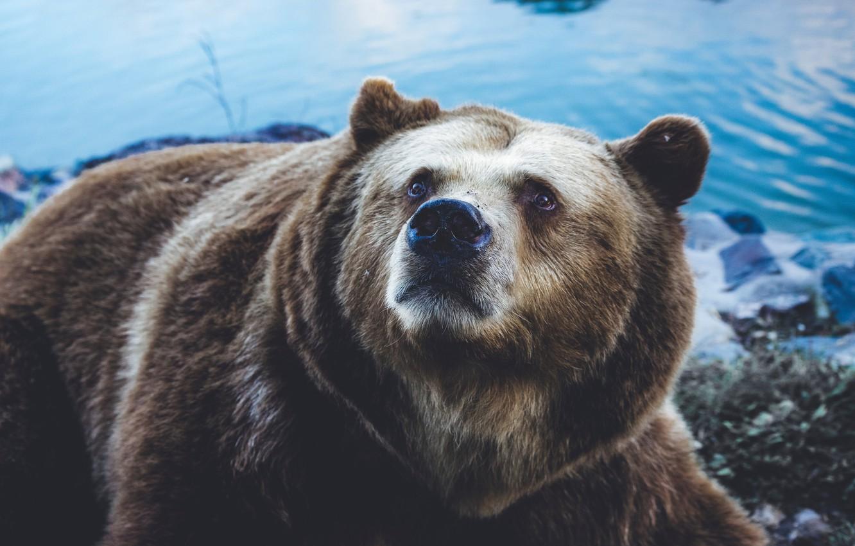 Фото обои Bear, Sight, Grizzly