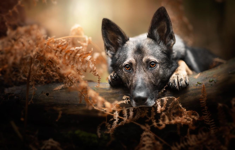 Фото обои осень, лес, взгляд, морда, листья, природа, поза, портрет, собака, лапы, лежит, бревно, папоротник, немецкая овчарка, …