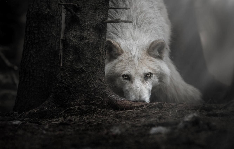 картинки белых волков ночью надо построить такую