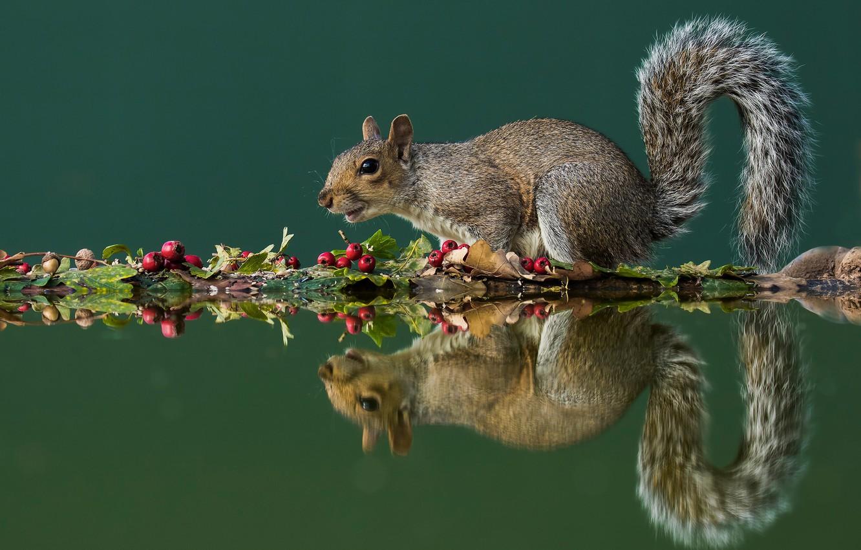 Фото обои осень, листья, вода, поза, отражение, ягоды, белка, плоды, хвост, серая, зеленый фон, белочка, грызун, композиция, …