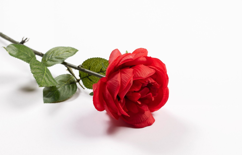 Фото обои цветок, роза, белый фон