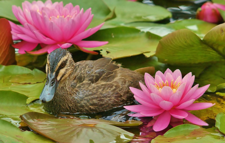 Фото обои цветы, красота, утка