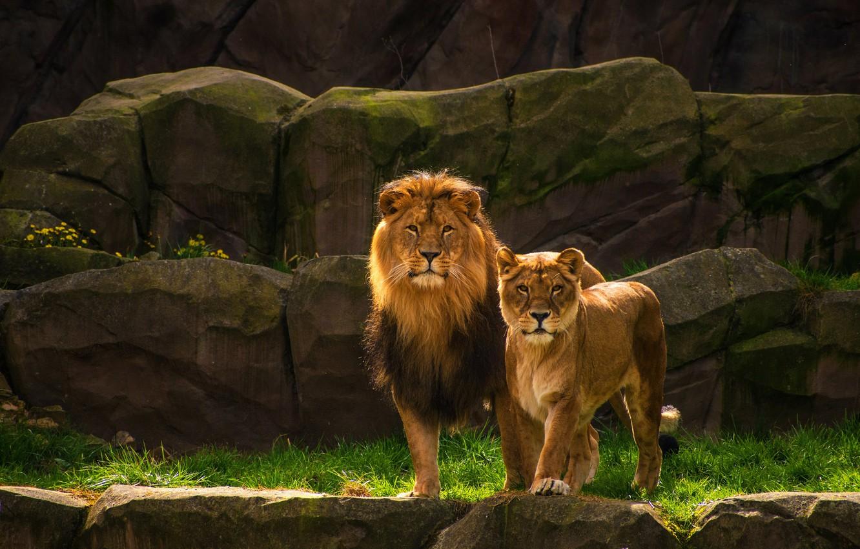 Фото обои взгляд, природа, камни, скалы, лев, пара, дикие кошки, львы, львица, два льва