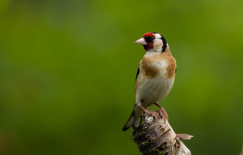 Фото обои птица, щегол, птаха