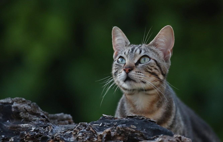 Фото обои кошка, взгляд, фон, мордочка, котейка