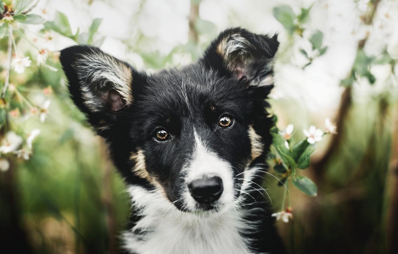 Фото обои взгляд, морда, черно-белый, портрет, собака, щенок