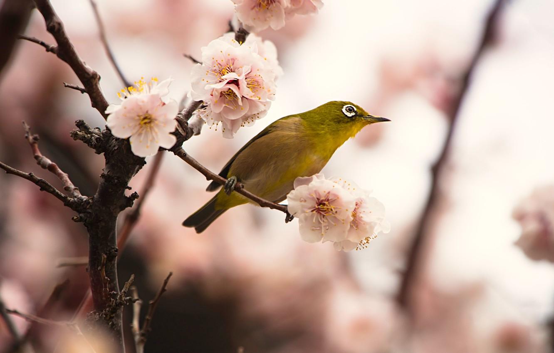 Фото обои цветы, ветки, фон, птица, красота, размытие, весна, сакура, птичка, цветение, желтая, боке, японская белоглазка