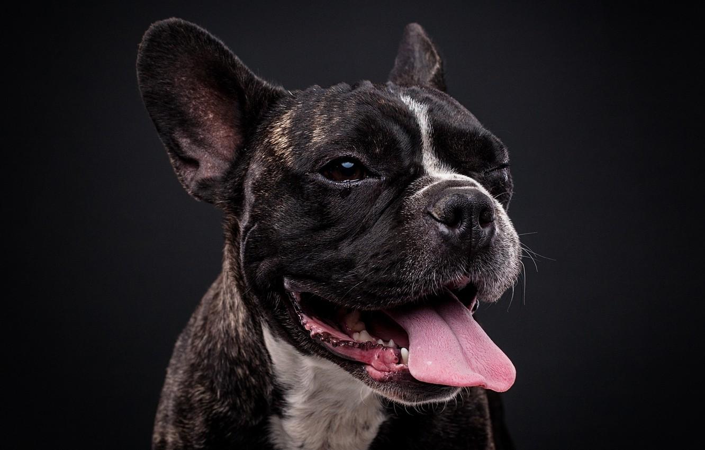 Фото обои язык, морда, фон, портрет, собака, Французский бульдог, Евгений Дёгтев