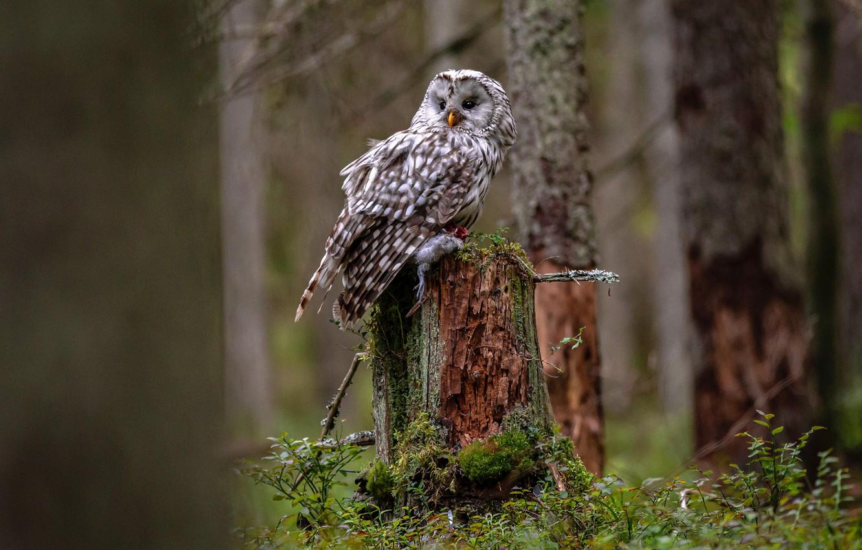 Фото обои лес, дерево, сова, птица, стволы, пень, ствол, добыча, неясыть