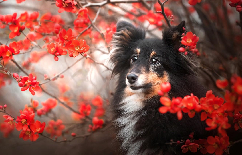 Фото обои ветки, природа, животное, собака, цветки, пёс, шелти