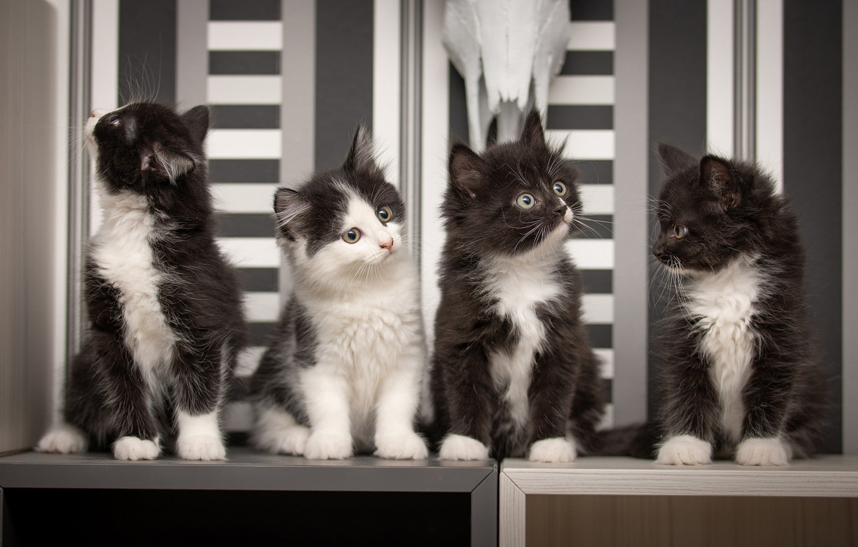 Фото обои котята, малыши, квартет