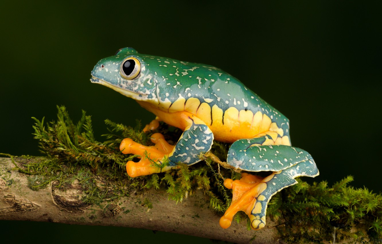 Фото обои лягушка, ветка, причудливая квакша, fringed leaf frog