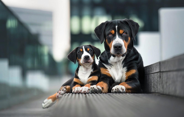 Фото обои собаки, взгляд, город, поза, фон, две, портрет, лапы, бордюр, пара, щенок, парочка, дуэт, мама, черные, ...