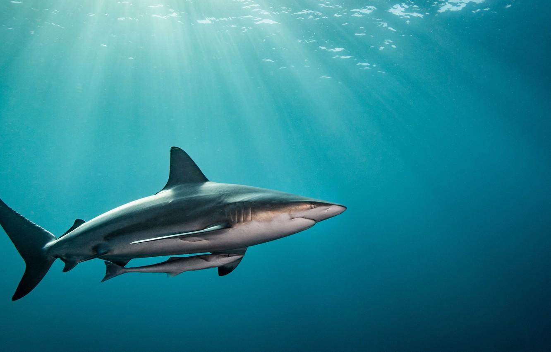 Фото обои вода, свет, океан, рыба, Акула