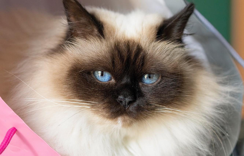 Фото обои взгляд, мордочка, голубые глаза, пушистая, Бирманская кошка