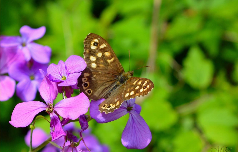 Фото обои Макро, Бабочка, Macro, Фиолетовые цветы, Butterfly, Purple flowers